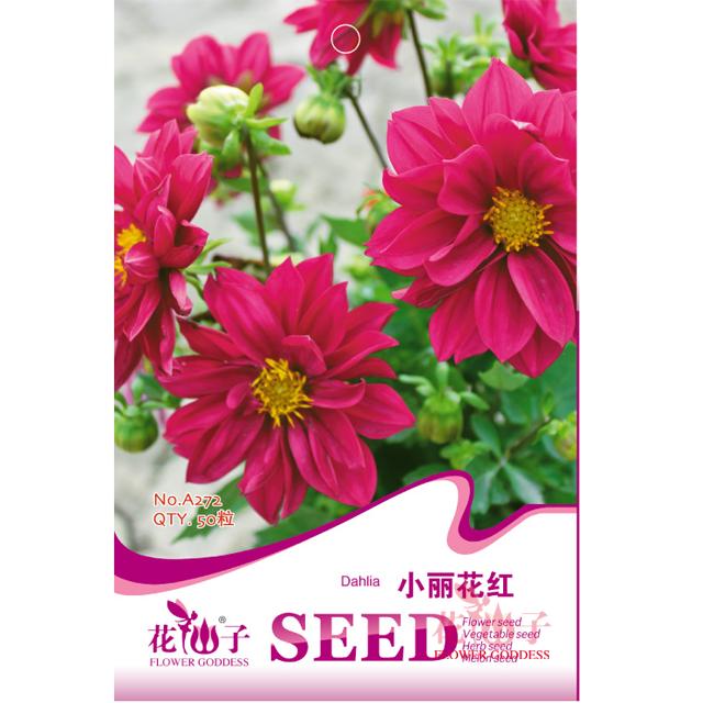园艺种子  小丽花红